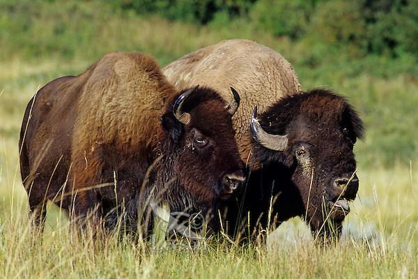 Bison (Bison bison) couple, Theodore Roosevelt National Park, North Dakota.  Summer rut.