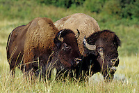 Bison (Bison bison) couple, Theodore Roosevelt National Park, North Dakota.  Summer rut.