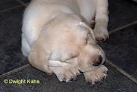 SH38-536z Lab Puppies - Genetic variation white, 6 weeks old..