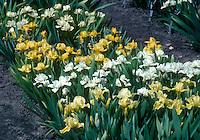 Dwarf bearded irises: From top to bottom: Iris 'Sarah Taylor', Iris pumila 'Eyebright', I. 'Mary McIlroy', I. 'Bibury'