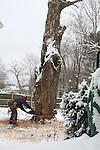 Man cutting down large tree.