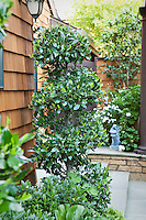 Spiral pruned privet evergreen shrub in small space urban townhome patio garden