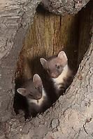 Baummarder, Junge, Jungtiere in ihrer Baumhöhle, Baum-Marder, Edelmarder, Edel-Marder, Marder, Martes martes, European pine marten