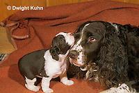 SH21-002z  Dog - English Springer puppies 3 weeks old with mother