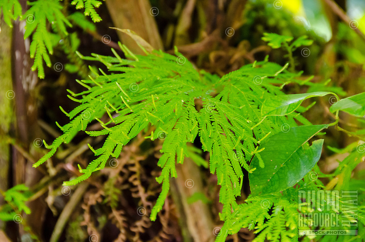 A close-up of a fern on the trail to 'Akaka Falls, just north of Hilo on the Big Island of Hawai'i.