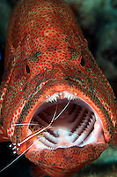 The cleaner shrimp, Lysmata amboinensis, is taking a close look for parasites on this coral grouper, Cephalopholis miniata.  Mabul Island, Malaysia.<br />