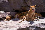 Lion cub yawns as its brothers and sisters rests in the shade of the rock.