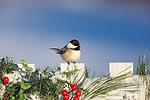 Black-capped chickadee on a festive backyard fence