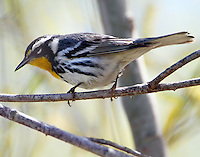 Adult male yellow-throated warbler in March