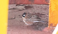Rustic Bunting arrived aboard the ship the same day the Hawfinch arrived.