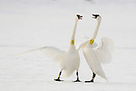 Two banded Trumpeter Swans in the wild interacting.  Grantsburg, Wisconsin, USA.