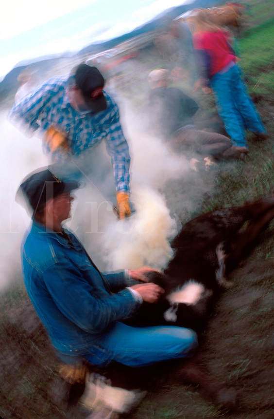 Blurred motion image of cowboys at a cattle branding roundup. South Dakota.