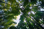 Arashiyama bamboo forest, dreamy skyward low angle view of the canopy of arching tree tops above. Kyoto, Japan. Image © MaximImages, License at https://www.maximimages.com