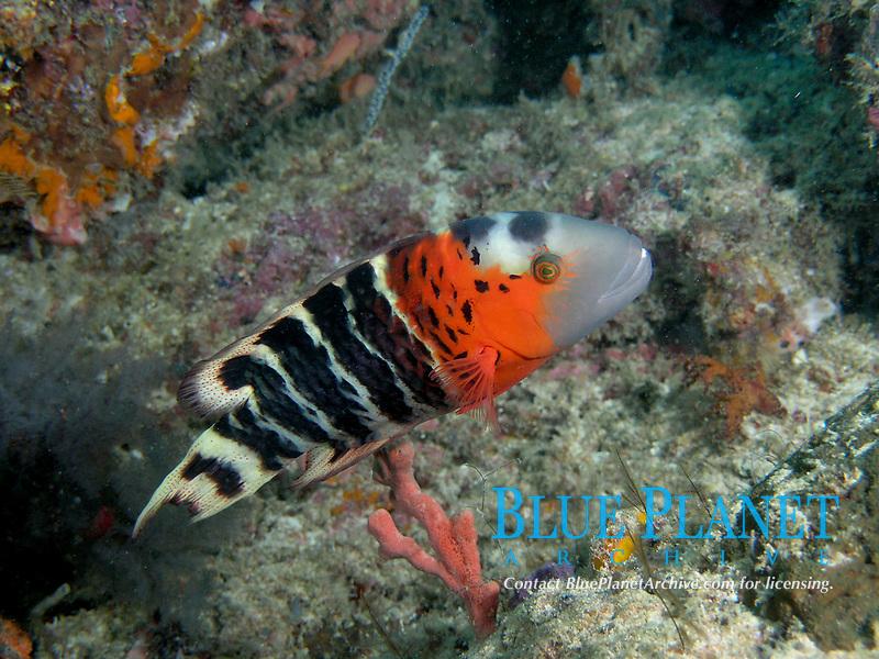 tuskfish, Sipadan, Malaysia, Pacific Ocean