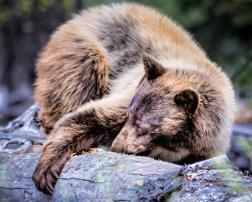 I followed this cinnamon colored black bear from just outside my house near Lake Tahoe as he (?) foraged for insects by tearing apart downed trees.  Fascinating - so much work for such small bites!  In this photo, he was trying to roll over this log to get better access...
