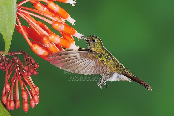 Tyrian Metaltail (Metallura tyrianthina), adult feeding on flower, Papallacta, Ecuador, Andes, South America