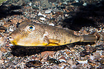 northern puffer swimming left