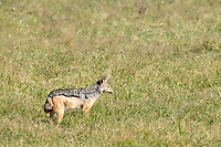 East African Jackal (Black-backed Jackal), Canis mesomelas schmidti, in Ngorongoro Crater, Ngorongoro Conservation Area, Tanzania