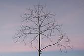 Pará State, Brazil. Altamira. Leafless tree.