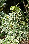 PISONIA UMBELLIFERA VARIEGATA, VARIEGATED BIRD-CATCHER TREE