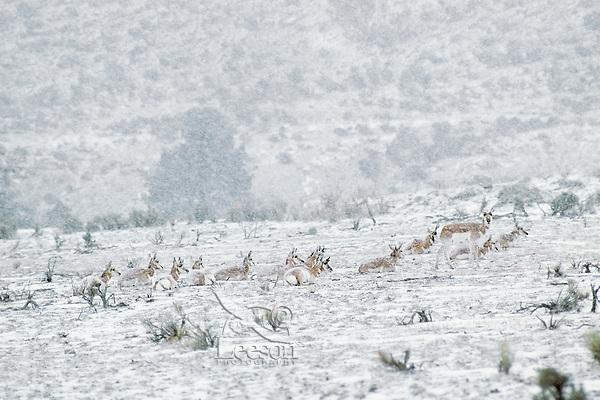 Pronghorn Antelope herd resting during winter snowstorm.  Western U.S.