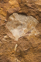 """Fossil Ginkgo Leaf (Ginkgo adiantoides). Paleocene. Ft. Union, Morton County, North Dakota, USA. This was the last extant Ginkgo species widely distriuted across the Northern Hemisphere, and largely disappeared from the fossil record except for a small area of China where modern Ginkgo biloba species persist today as """"living fossils"""".  It is uncertain whether or not the two may be the same species."""