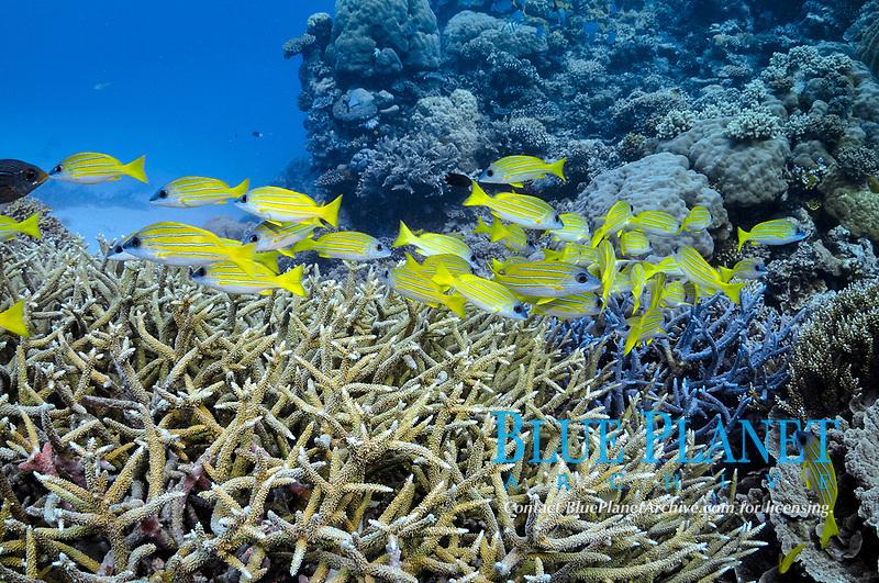 Bluestriped Snapper, Lutjanus kasmira, Agincourt Reefs, Port Douglas, Great Barrier Reef, Queensland, Australia, Coral Sea, South Pacific Ocean
