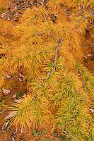 larch tree, autumn color at Arnold Arboretum, Boston, MA