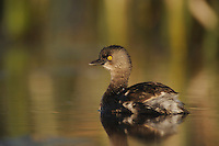 Least Grebe (Tachybaptus dominicus), adult swimming, Fennessey Ranch, Refugio, Corpus Christi, Coastal Bend, Texas Coast, USA