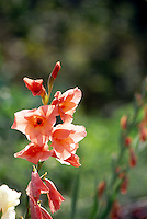 Pink gladiola, Gladiolus communis, flowers close up in garden
