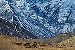 Urial (Ovis orientalis vignei), Hemis National Park, Ladakh, India