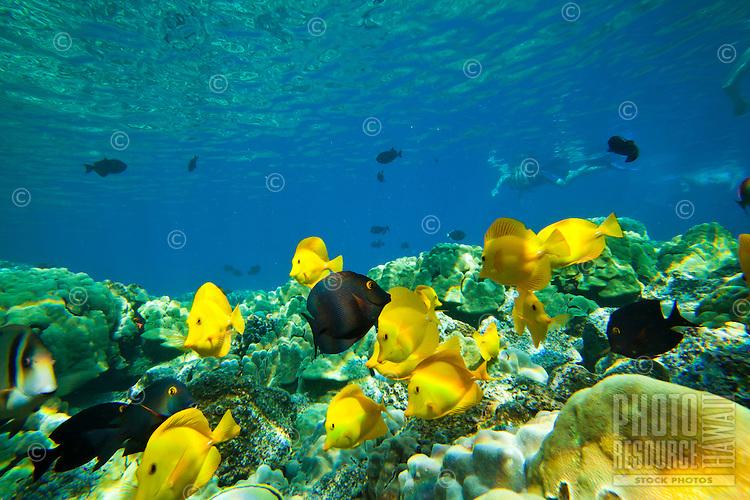 A snorkeler's view of yellow and achilles tang and surgeon fish at Kealakekua Bay, Big Island