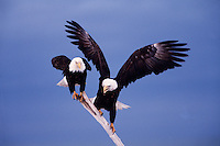 A pair of Bald eagles (Haliaeetus leucocephalus) balanced on a stick in preparation for flight.