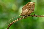 Sylvan leaf katydid (Mimetica viridis)(Subfamily: Pterochrozinae)(Tettigoniidae). Lowland rainforest, Boca Tapada, Costa Rica.