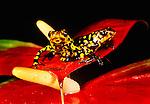 Harlequin poison arrow frogs, Venezuela