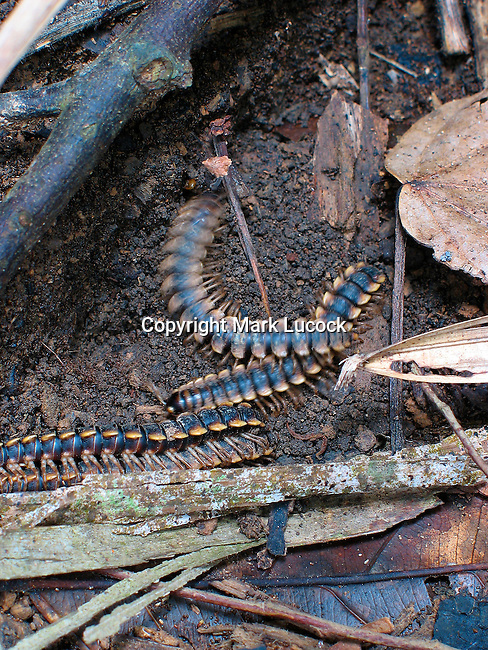 Rainforest Millipedes living in between buttress roots, Thailand