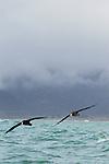 Northern Giant Petrel (Macronectes halli) pair flying near coast, Kaikoura, South Island, New Zealand