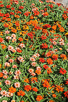 Zinnia 'Profusion Mixed Colors' (angustifolia x elegans) annual flowers in summer bloom
