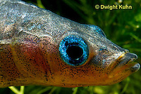 1S14-800z   Male Threespine Stickleback, Mating colors showing bright red belly and blue eyes, close-up of face, Gasterosteus aculeatus,  Hotel Lake British Columbia.