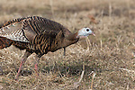Eastern wild turkey - female