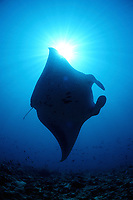 reef manta ray, Manta alfredi, Maldives Island, Indian Ocean, Ari Atol (atoll)