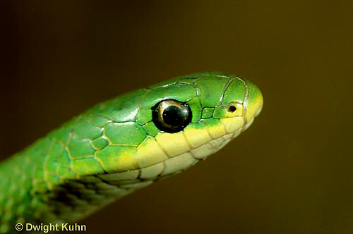 1R04-109z  Smooth Green Snake - close-up of head - Opheodrys vernalis
