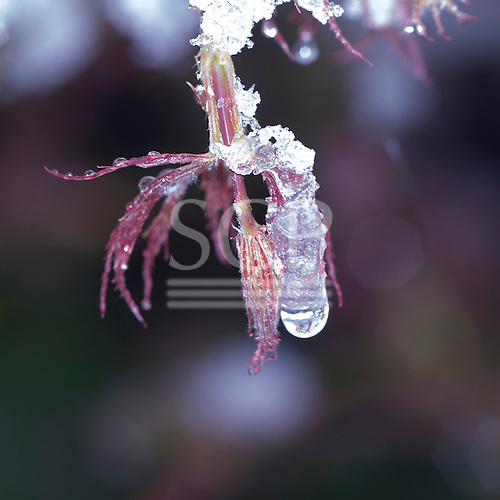 Kingston upon Thames, UK. Partially frozen melting drops of water and ice on a plant.