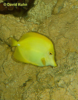 0517-1002  Yellow Tang (Somber Surgeonfish), Zebrasoma flavescens  © David Kuhn/Dwight Kuhn Photography