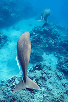 dugongs or sea cows, Dugong dugon, ( note scars on back ), ( Indo-Pacific Ocean )