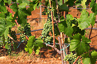 Grape bunches on the vine. Big bunches just before veraison (grapes taking colour), some grapes have already changed color from unripe green to ripe blue. The vine training pruning method is actually a mix between Cordon de Royat and Guyot according to the vineyard manager. Vranac grape variety. Vineyard on the plain near Mostar city. Hercegovina Vino, Mostar. Federation Bosne i Hercegovine. Bosnia Herzegovina, Europe.