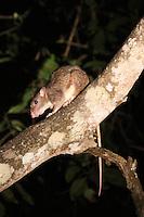Giant White-tailed Bush Rat, Iron Range National Park, Queensland
