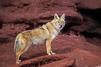 COYOTE near Canyonlands National Park, Utah..Autumn. (Canis latrans).