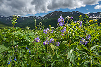 Wild geraniums bloom at Hatcher Pass, north of Anchorage.