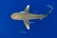 dorsal view of oceanic whitetip shark,Carcharhinus longimanus, accompanied by pilotfish (Naucrates ductor), and remoras (Remora remora), open ocean, Hawaii ( Central Pacific Ocean )